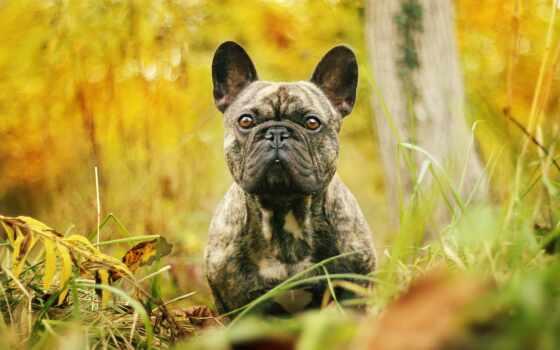 собака, lycaon