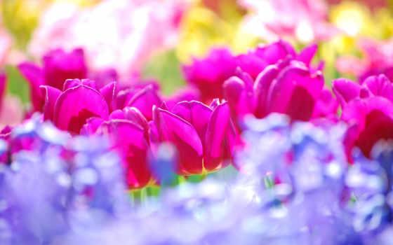 тюльпанов, тюльпаны, море
