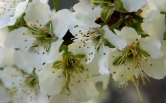 рисунки, cvety, усики, вишни,