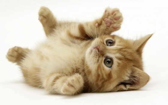 котенок, kittens, feline