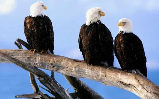 лысый, eagles, орлан