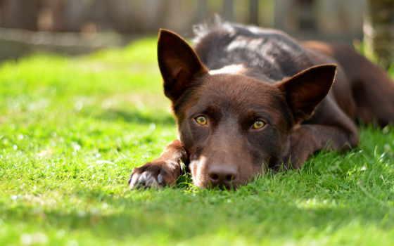 kelpie, pinterest, australian, собака, dogs, об, red, puppys, world, доска,