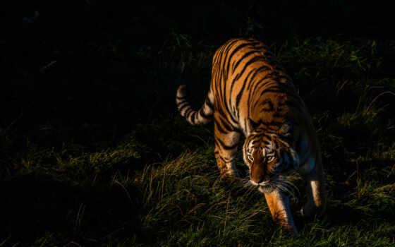 тигр, jungle, лицо, лепесток, jaya
