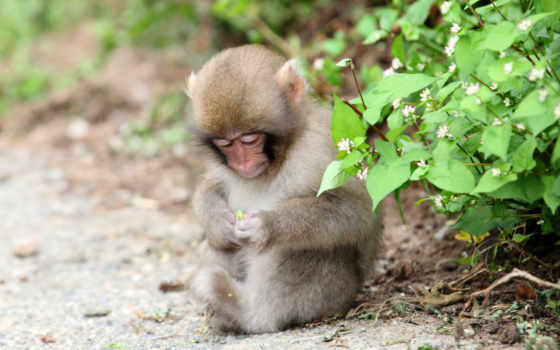 обезяна, priroda, zhivotnye, обезьяны,