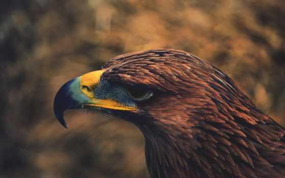 картинка, птица, орлан