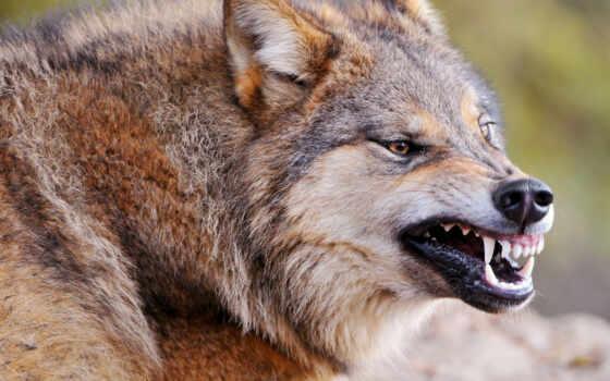 волк, хищник, оскал