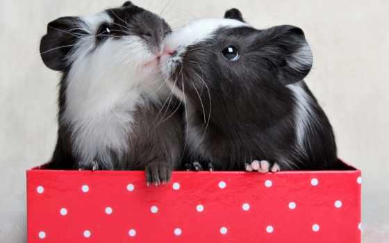 свинки, морские, грызуны, поцелуй, box,
