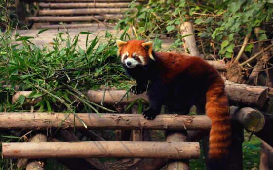 панда, малая, красная, медведи, zhivotnye,