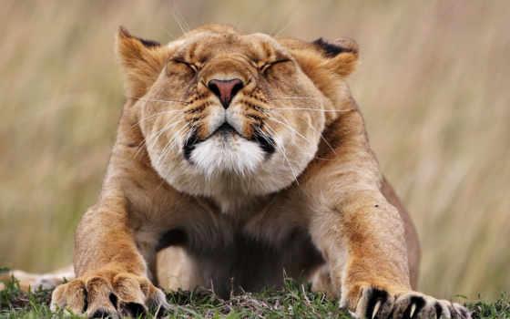 львица, lion, хищник, browse,