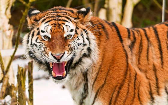 тигр, свет, amur, пасть, хищников, тиграм, ухмылка, амурским, земле, самый, тигры,