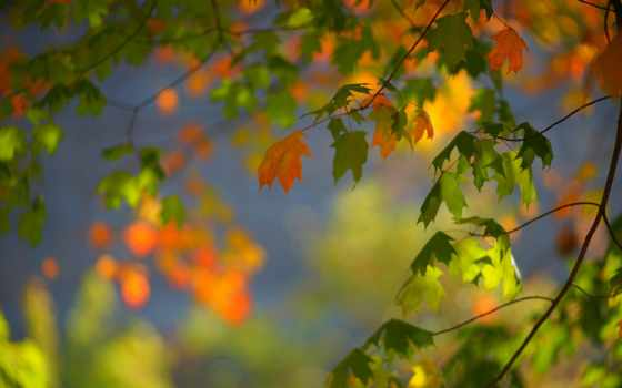 листья, maple, осень, листва, bokeh, ветви, desktop,