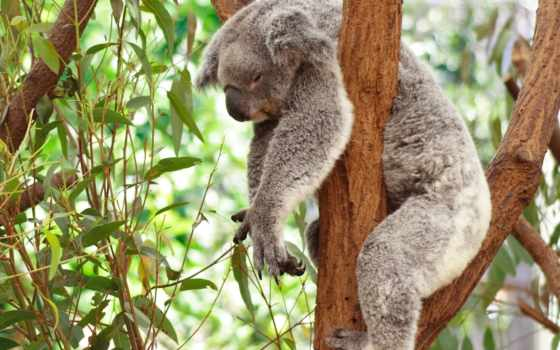 коала, эвкалипт, лига, лени, пикабу, обнимашки, коалы, австралия, that,