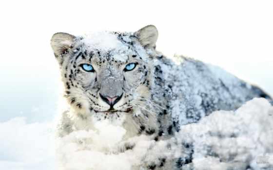 леопард, снег, pinterest, see, идея, animal, explore, доска
