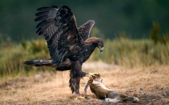орлан, птица, extraction, hunting, коллекция, фото, зайцы, animal