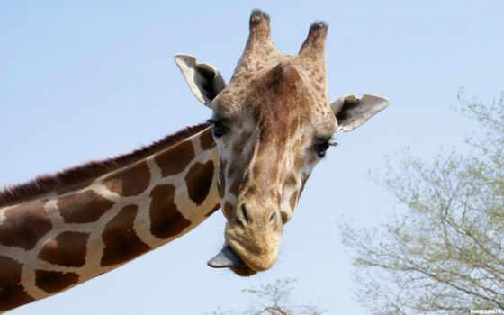 жираф, животные, язык