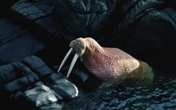 животные, моржи, животных