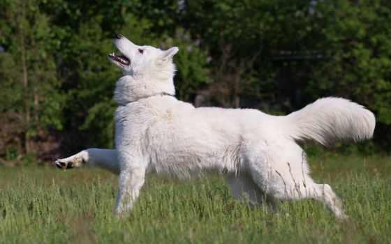 овчарка, собака, белая, янв, swiss, нравится, друг, трава,