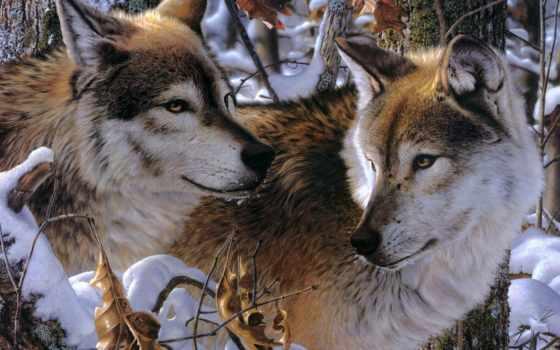 волки, животные, wolves