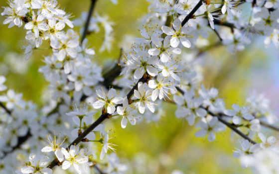 дерево, цветение, trees