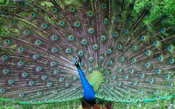 peacock, красивый, птица