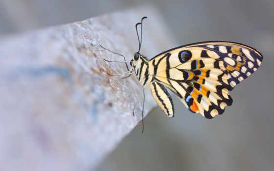 fondos, pantalla, mariposa, imágenes, alta, fondo, mariposas, бабочка, alas,