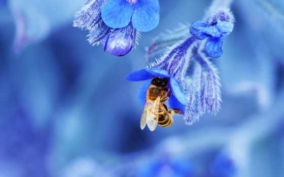 , мед, цветок, пчела, голубой,