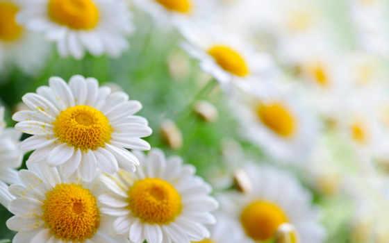 ромашки, cvety, боке, лепестки, пыльца,