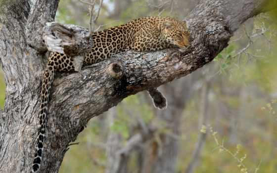 леопард, jaguar, desktop, free, facebook,