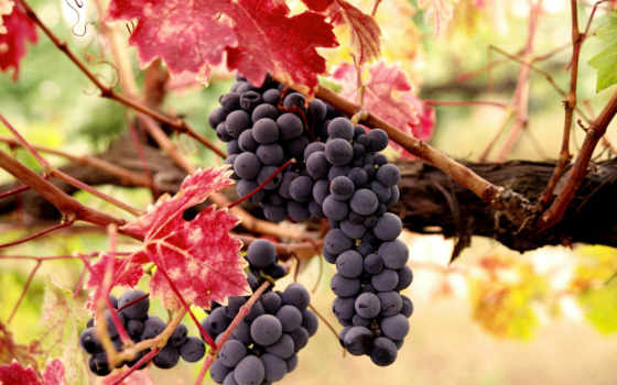 виноград, осень, leaf, print