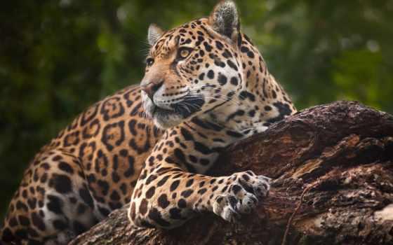 кот, леопард, картинка, jaguar, wild, глаза, биг, животные, animal, lion