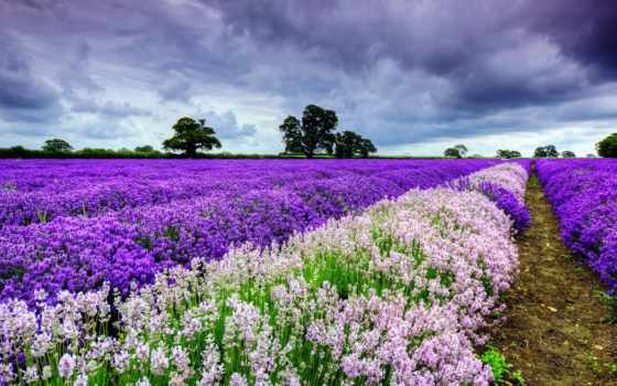 lavender, поле, trees, небо, oblaka, margin, лавандовые, лаванды,