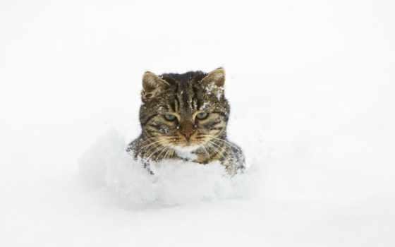 кот, снег, сугробе, сугробы, снегу, взгляд, недовольный, drift, zhivotnye, феодосия, страница,