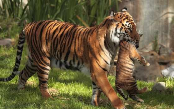 тигры, материнство, детёныш, тигр,