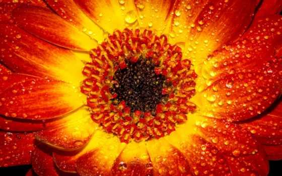 цветы, free, лепестки, фото, bloom, wet, макро, yellow,