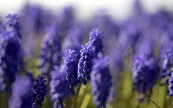 синие, макро, cvety, мускари, trick, фотографий, широкоформатные, страница, lavender,