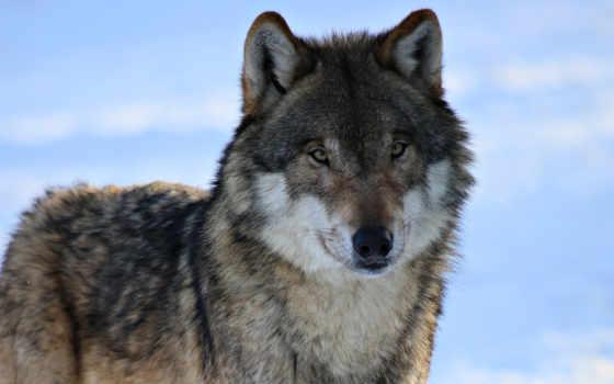 волк, волки