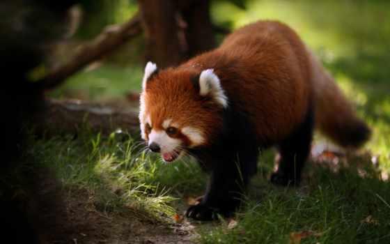 панда, красная, просмотреть