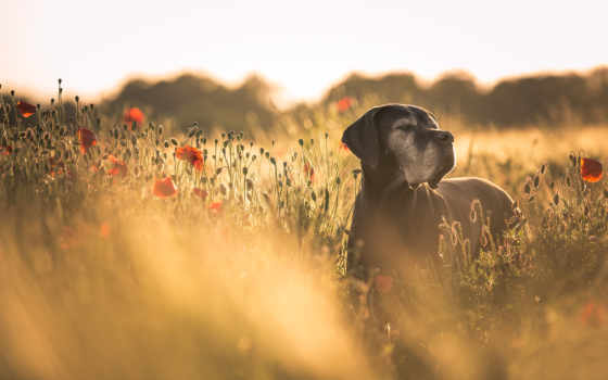 dane, great, собаки, german, mastiff, summer, осень, pictures,