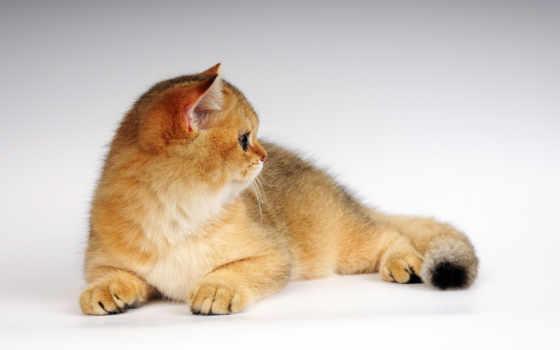 кот, пушистый, red