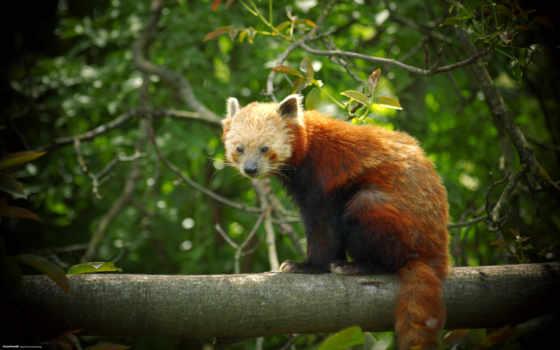 red, панда, animals, desktop, this,
