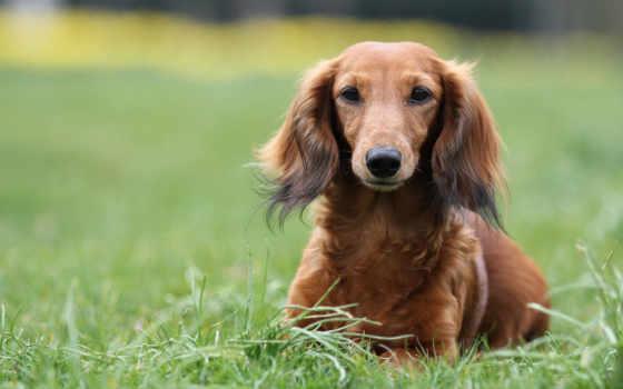вышивки, dachshund, траве