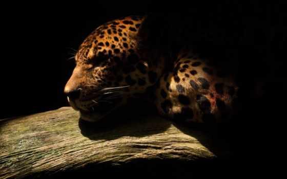 dark, дикая, jaguar, кот, js, zhivotnye, фотопечать, чёрно, фото,