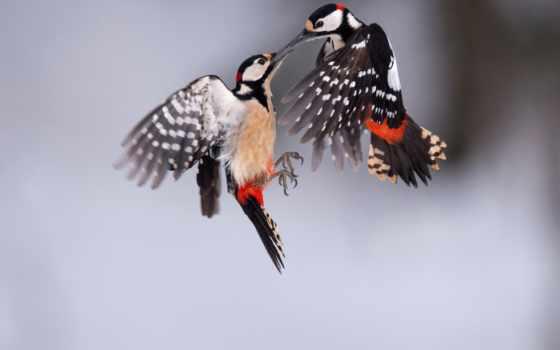 дятел, пестрый, макро, птицы, flying, pair, полет, birds, их, мира,