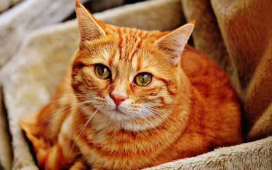 ,кот, рыжий, грусть, усы