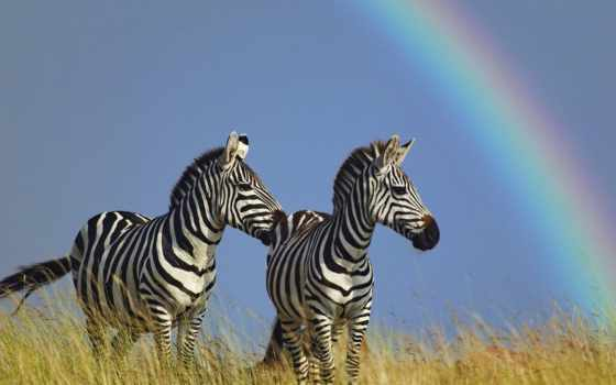 zebra, animal, white, black, две, wild, оценка, красивый