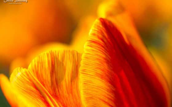 цветы, макро, yellow