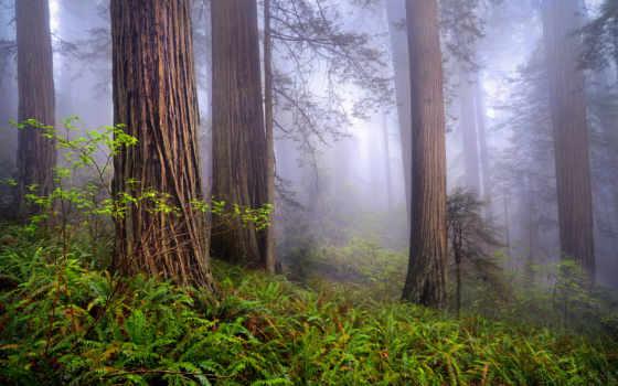 сша, природа, лес, утро, redwoods, туман, весна,