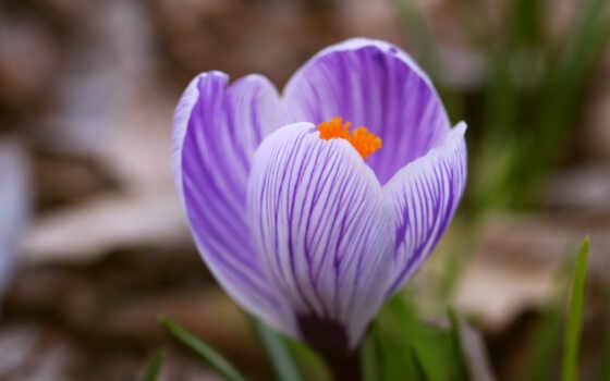 крокус, цветы, трава, сиреневый, макро, весна, one, striped, blue, первоцвет,