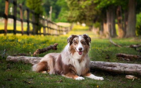 австралийская, овчарка, фото, картинка, собаки, трава, ложь, australian, park, aussie,