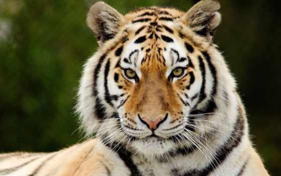 тигр, хищник Фон № 19407 разрешение 1920x1200